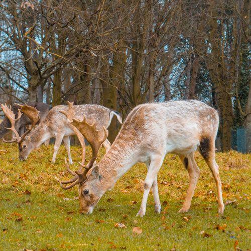 ciervos de Phoenix Park de Dublín