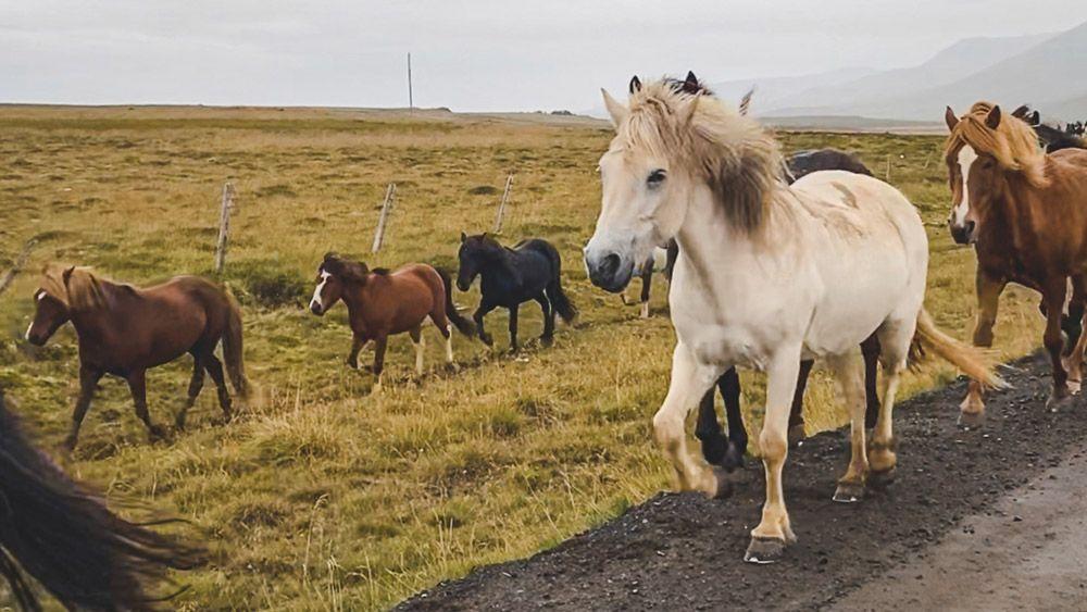 Donde encontrar caballos salvajes en islandia